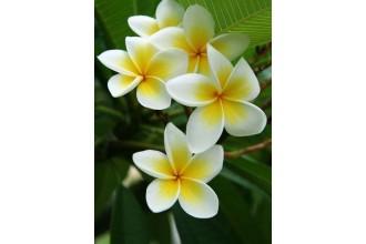 Диамантен гоблен Хавайски цветенца
